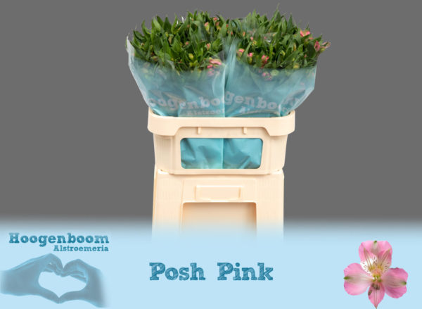Posh Pink75