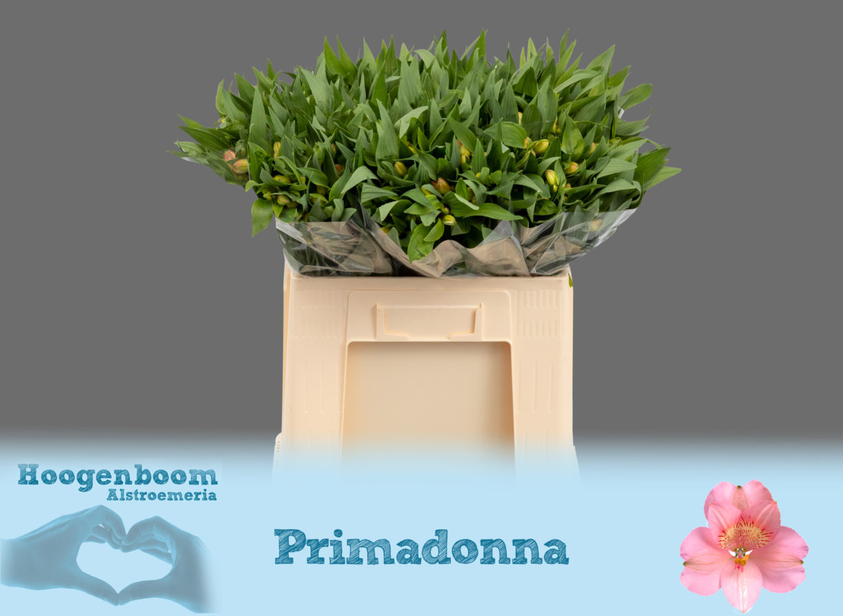 Primadonna40