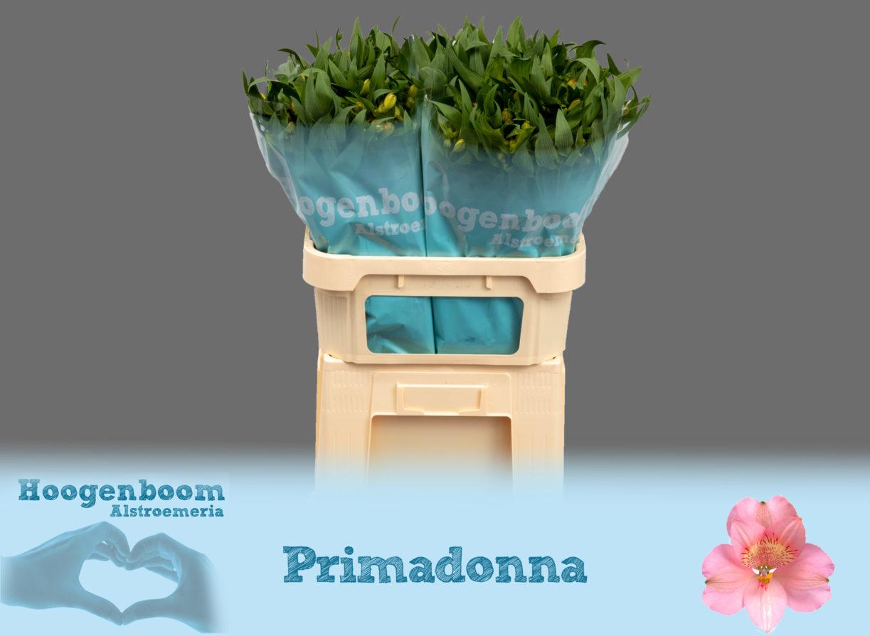 Primadonna75