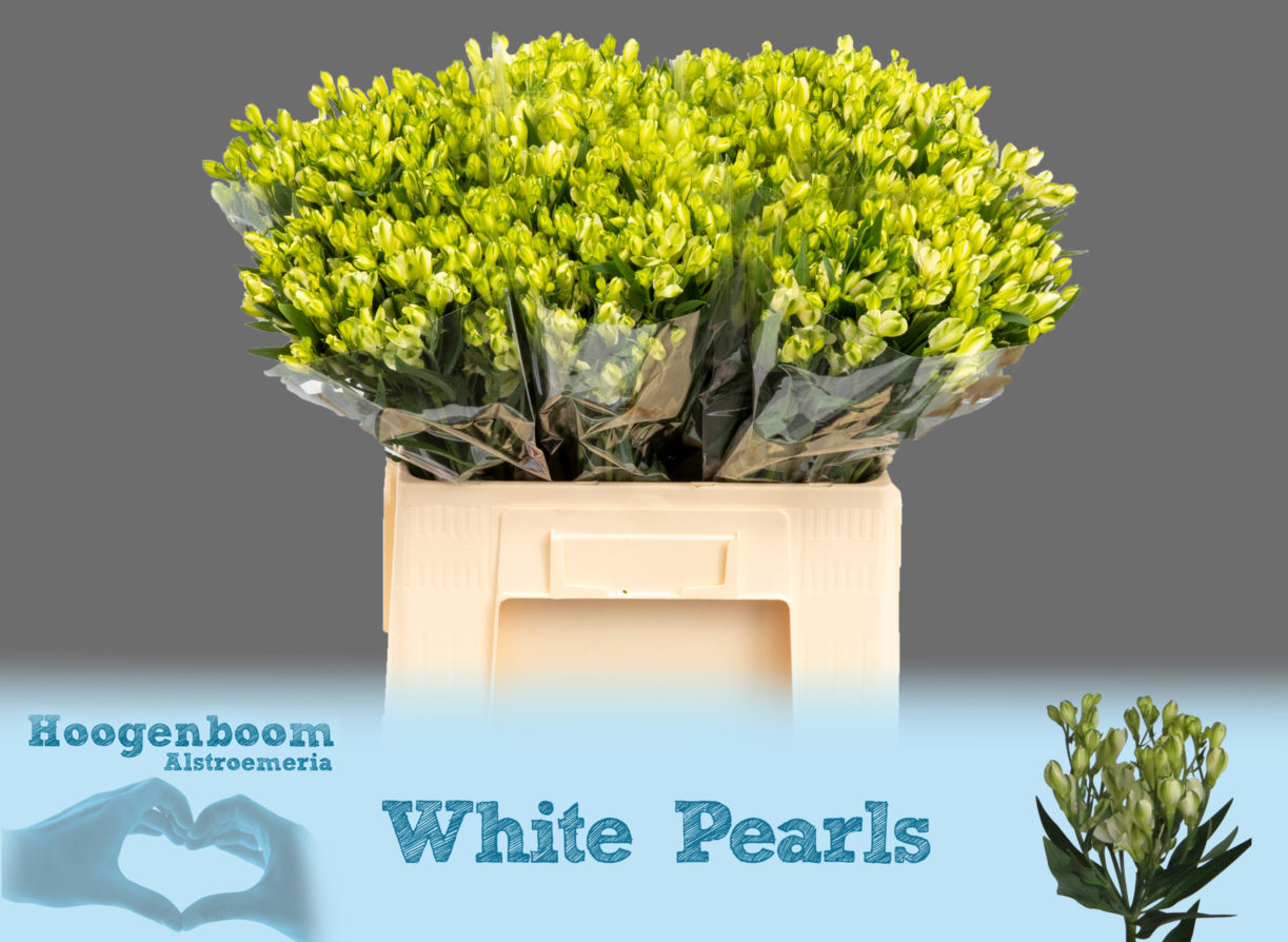 White Pearls40