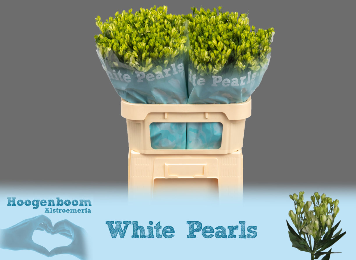 White Pearls75
