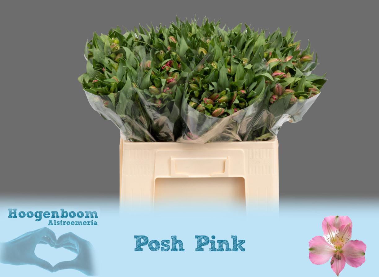 Posh Pink40